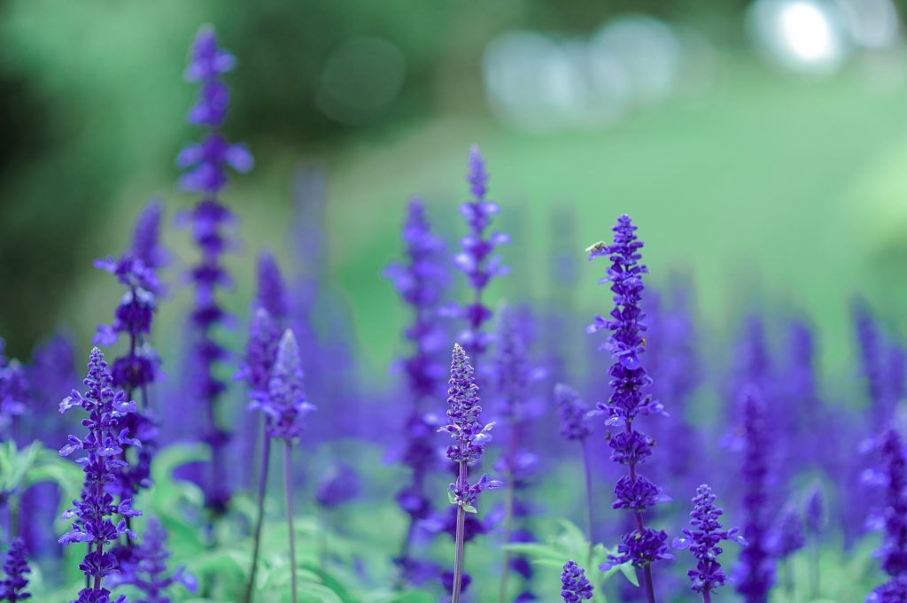 How To Manage Anxiety Naturally Aromatherapy With Lavender Essential Oils 2